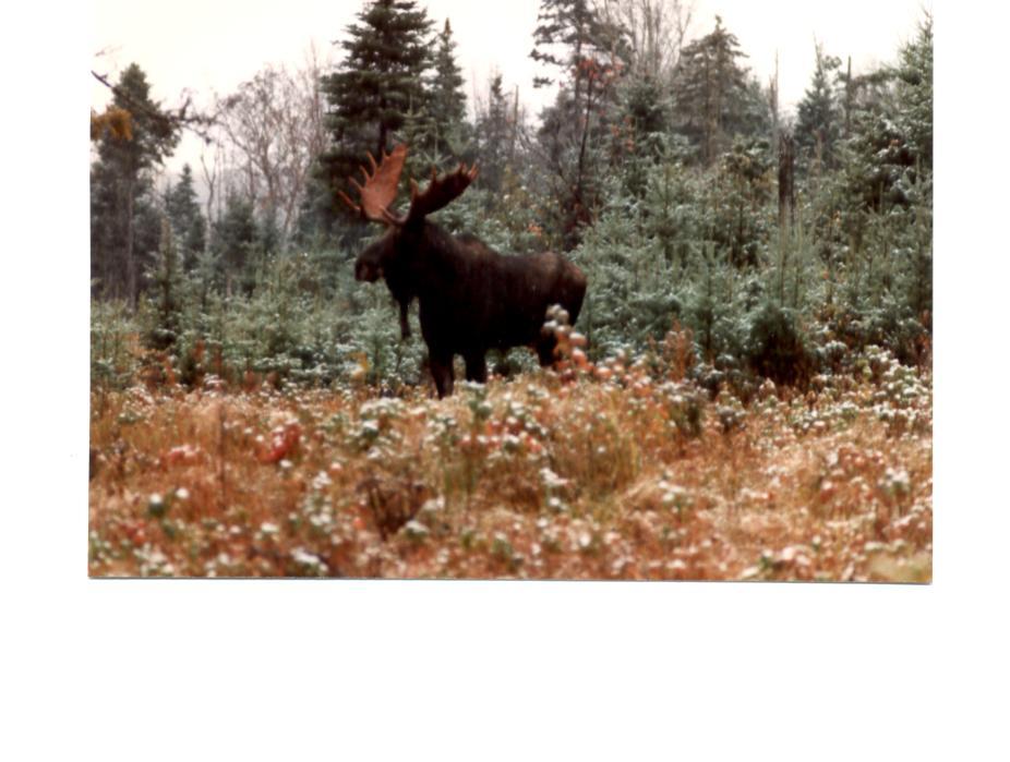 bullmoose.jpg